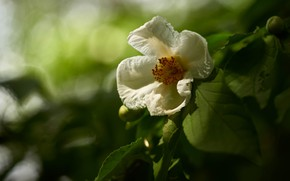Picture greens, flower, leaves, flowers, nature, background, branch, petals, garden, white, flowering, bokeh, Camellia