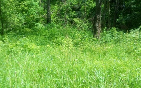 Picture forest, summer, grass, trees, nature, tree, green, glade, summer, green