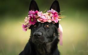 Picture look, face, flowers, dog, wreath, shepherd
