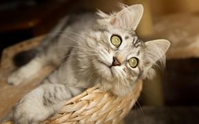 Picture cat, cat, look, muzzle, basket, cat