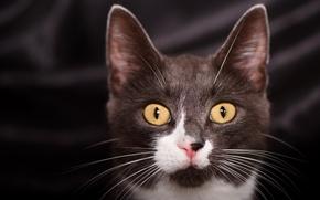 Wallpaper cat, eyes, mustache, look, cat