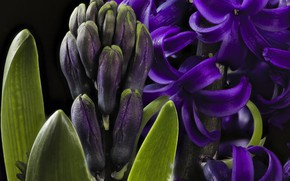 Wallpaper purple, hyacinth, macro