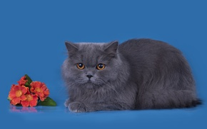Wallpaper cat, breed, grey, British, flowers