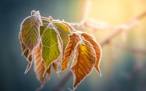 Picture frost, autumn, leaves