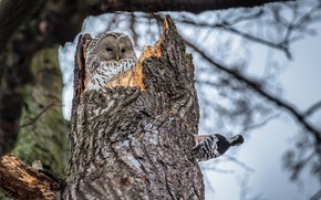 Picture birds, nature, tree, owl, woodpecker, trunk, the hollow