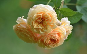 Picture macro, roses, branch, yellow roses