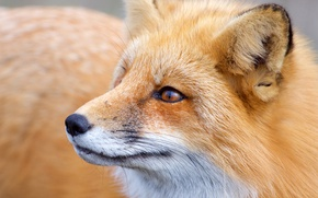 Picture face, Fox, red