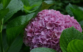 Picture summer, Bush, flowering, hydrangea
