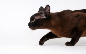 Wallpaper cat, profile, sneaks, Siamese
