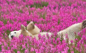 Picture flowers, nature, polar bear