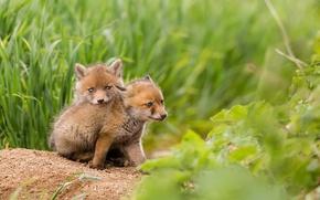 Wallpaper nature, Fox, summer