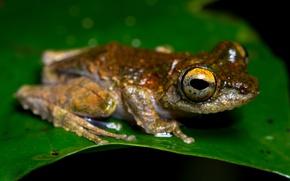 Picture animals, macro, sheet, green, leaf, frog, red, black background, amphibians, amphibians, yellow eyes