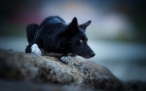 Picture look, stone, dog, bokeh, The border collie