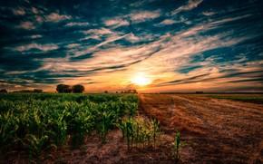 Picture sunset, Field, Corn