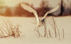 Picture winter, owl, bird, wings