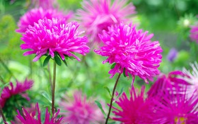 Picture flowers, beauty, September, plants, nature, flora, asters, positive, autumn