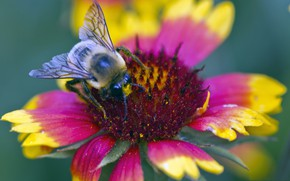 Picture flower, bee, petals, insect