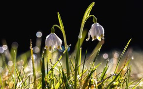 Picture grass, drops, flowers, Rosa, lights, the dark background, snowdrops, a couple, bokeh