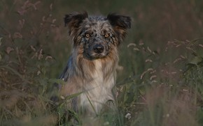 Picture dog, look, grass, The border collie