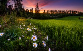 Picture summer, sunset, flowers, chamomile, Finland