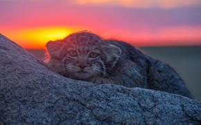 Wallpaper stone, look, Manul, wild cat, sunset