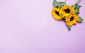 Picture flowers, sunflower, pink background