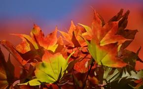 Wallpaper leaves, autumn, nature