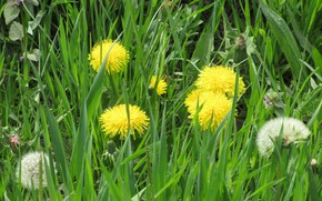 Picture grass, meadow, dandelions, spring 2018, Mamala ©