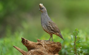 Picture bird, beak, tail, scaly quail