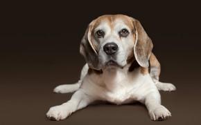 Picture look, background, portrait, dog, puppy, Beagle
