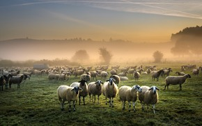 Picture field, fog, sheep