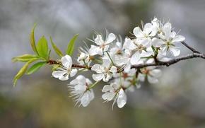 Picture flowers, nature, spring, petals, garden, inflorescence