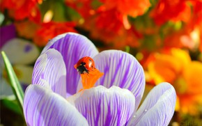 Wallpaper Ladybug, Krokus, Macro, Crocus