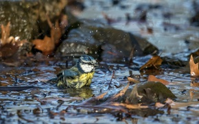 Picture nature, bird, puddle