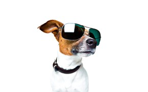 Picture face, portrait, glasses, white background, collar, Jack Russell Terrier