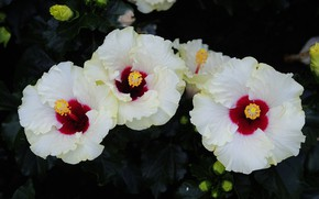 Picture flowers, Bush, flowering, Hibiscus