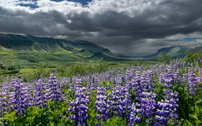 Picture summer, the sky, clouds, flowers, mountains, clouds, valley, Iceland, lupins