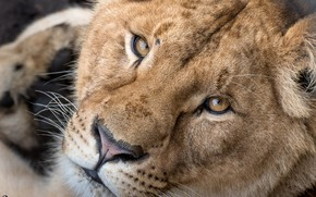 Picture look, beauty, lioness