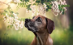 Picture face, branches, portrait, dog, flowers, bokeh, acacia, Rhodesian Ridgeback