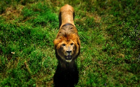 Picture greens, animals, grass, nature, Leo, wildlife, the lion king, animals nature, wild animals, lion in …
