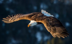 Picture flight, feathers, eagle, magestuosity
