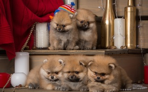 Picture puppies, fluffy, kids, Spitz