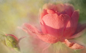 Picture flower, drops, flowers, Rosa, background, rose, roses, light, petals, Bud, art, haze, buds, gently, dissolution, …