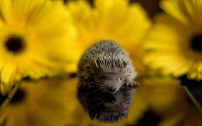 Picture baby, hedgehog, baby
