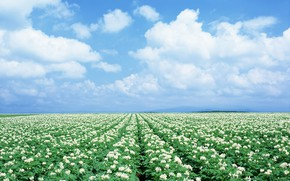 Picture The sky, Field, Chamomile, Japan, Field, Chamomile
