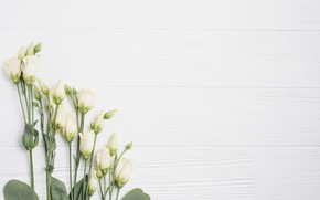 Picture Flowers, White background, Eustoma