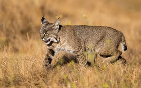 Picture field, nature, animal, lynx
