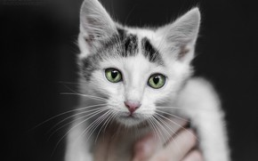Picture cat, white, eyes, cat, look, kitty, cat, Kote, kitty, big eyes, cat, white cat
