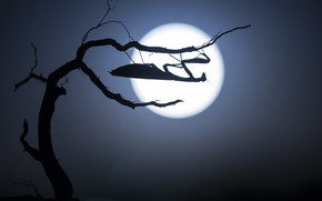 Picture the moon, mantis, silhouette