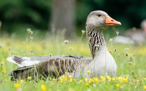 Picture greens, summer, grass, flowers, nature, grey, background, bird, glade, portrait, spring, yellow, lies, lawn, goose, ...